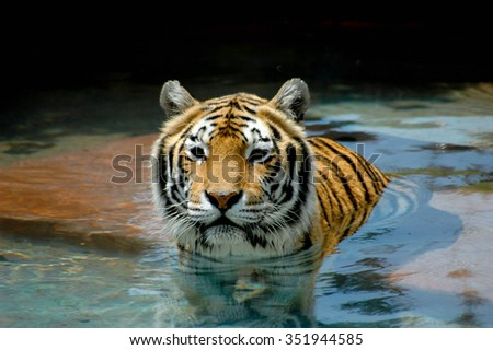 Close-up of face, head and shoulders of beautiful tiger; Portrait of a beautiful tiger swimming towards the viewer - stock photo