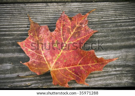 close up of  faded maple leaves on wheathered wood /  grunge background - stock photo