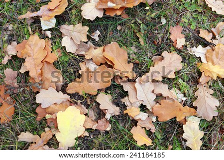 close-up of fallen oak leaves yellowed autumn day in the woods - stock photo