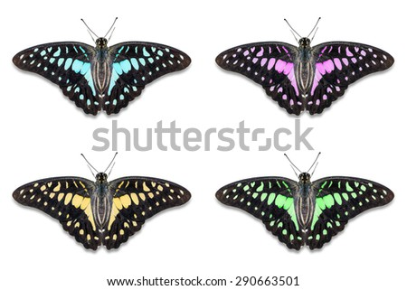 Close up of fancy color Common Jay (Graphium doson) butterflies, isolated on white background with clipping path, dorsal view - stock photo