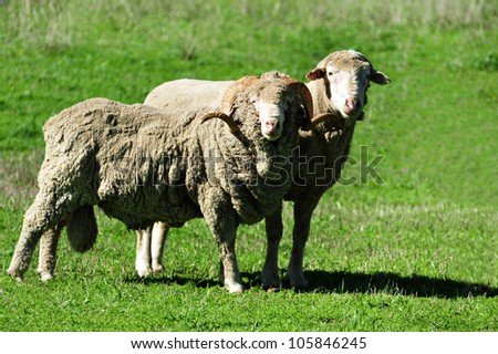 Close up of farm with sheep in south Island, New Zealand. - stock photo