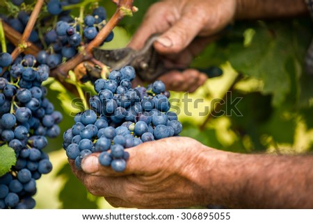 Close up of farmer male hands picking grape - stock photo
