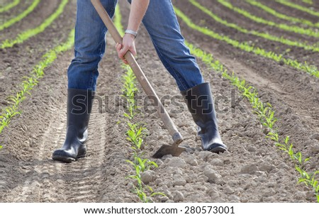 Close up of farmer's hands hoeing corn field in spring - stock photo