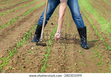 Close up of farmer's hands weeding and hoeing corn field in spring - stock photo