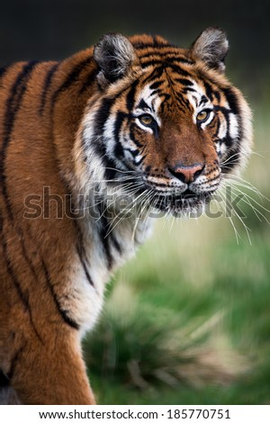 Close up of female Bengal Tiger face, head and forelimbs/Bengal Tiger/Bengal Tiger - stock photo