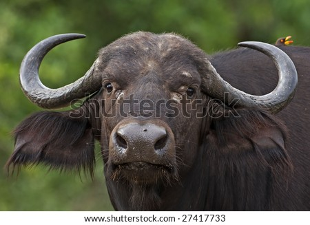 Close-up of female buffalo; Syncerus caffer; South Africa
