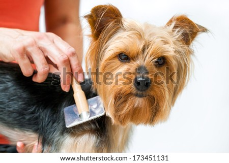 Close up of female hand grooming yorkshire dog after bath. - stock photo