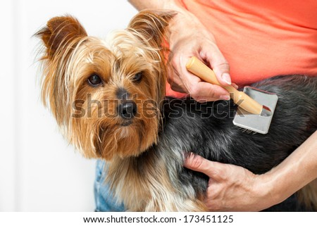 Close up of female hands grooming yorkshire dog in salon. - stock photo