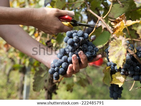 close up of female hands harvesting grapes wine - stock photo