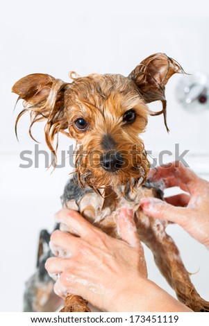 Close up of Female hands washing little yorkshire dog. - stock photo