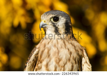 Close up of Female Kestrel Falcon perched on tree branch with vivid yellow autumn colors in background - stock photo