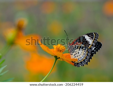 Close up of female leopard lacewing (Cethosia cyane euanthes) butterfly perching on cosmos flower - stock photo