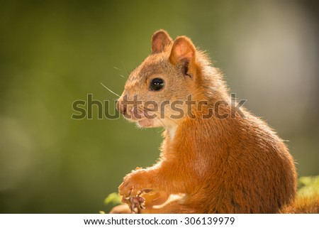close up of female red squirrel