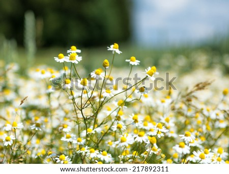 Close Up of Field of Chamomile Flowers with Selective Focus - stock photo