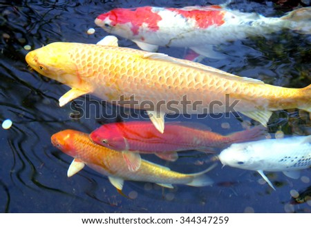 Close up of five koi fish swimming in a pond