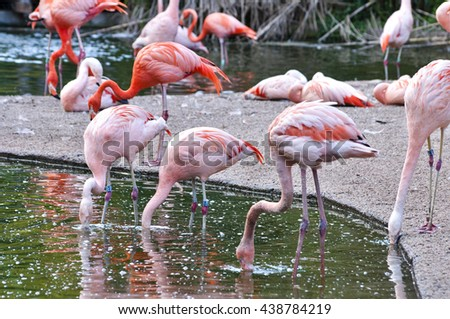 Close up of Flamingos in water in nature