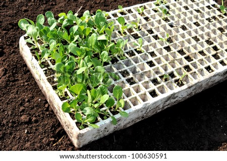 Close up of flat of spring seedlings - stock photo