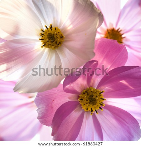 Close-up of flower against white background . Opposite light. Shallow depth of focus - stock photo