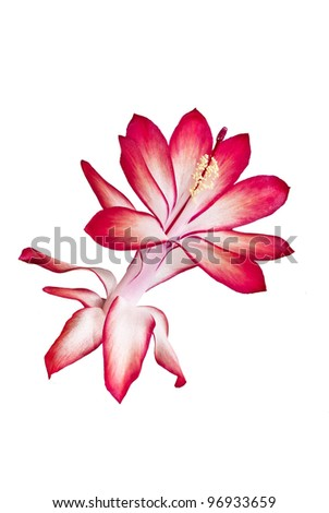 Close-up of flower Schlumbergera or Christmas cactus on white background - stock photo