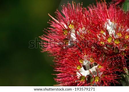 Close Up Of Flowering Pohutukawa, New Zealand, Christmas Tree, Coromandel, New  Zealand