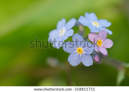 close up of Forget-me-not (myosotis) flowers