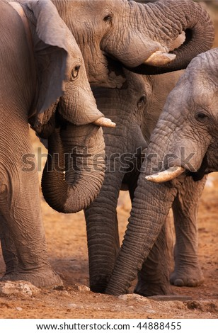 Close-up of four elephants drinking water from a  hole in the ground ; Etosha - stock photo