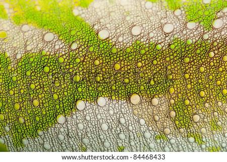 Close-up of Four-horned Chameleon skin, Chamaeleo quadricornis - stock photo