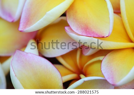close up of frangiapani flower - stock photo