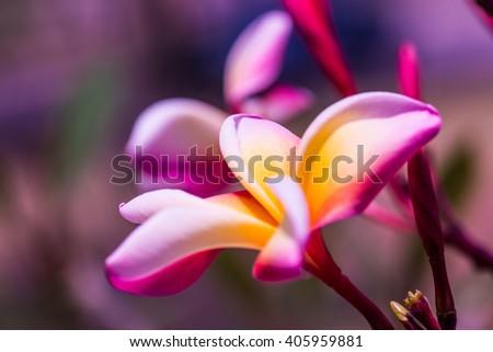 Close up of Frangipani flowers, Thailand - stock photo