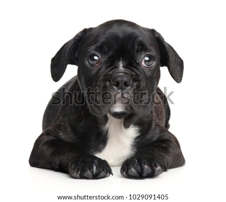 Close-up of French Bulldog puppy on white background. Baby animal theme