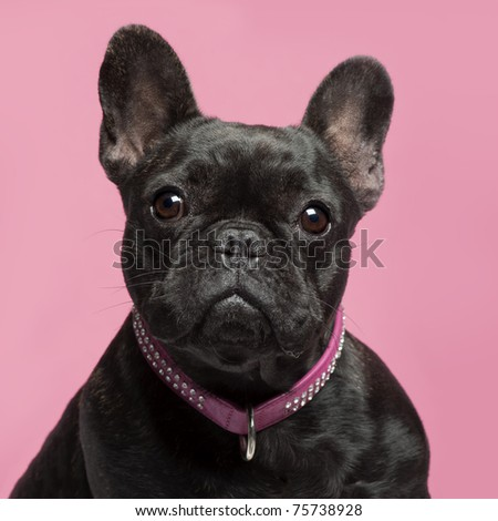 Close-up of French bulldog, 2 years old, wearing collar in front of pink background - stock photo