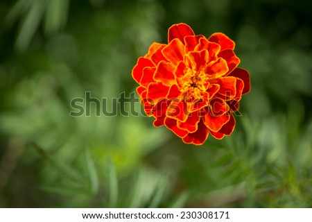 Close up of French Marigold - stock photo