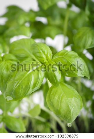 close-up of fresh basil leaves with water drops - stock photo