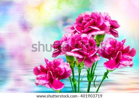 Close up of fresh beautiful carnation flower - stock photo