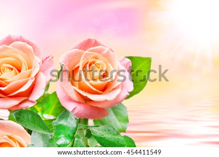 Close up of fresh beautiful rose flower - stock photo