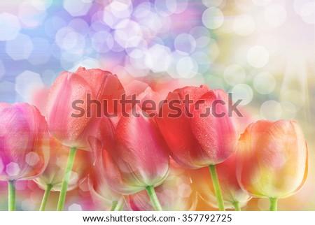 Close up of fresh beautiful tulip flowers - stock photo