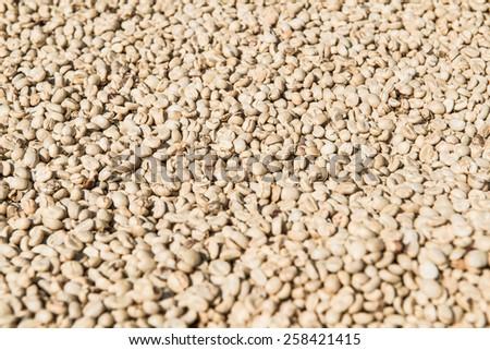 Close Up of Fresh Coffee Bean, Thailand. - stock photo