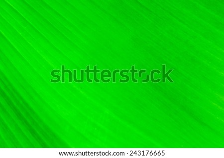Close up of Fresh Green Banana Leaf for background,wallpaper and texture.
