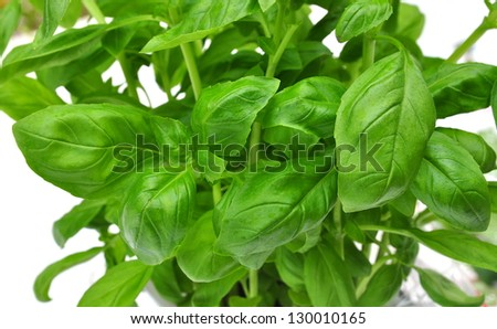 Close up of fresh green basil leaves - stock photo