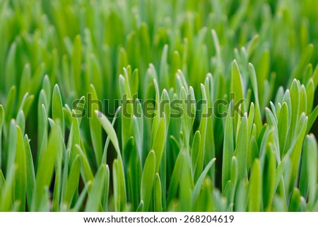 Close up of fresh green grass for cats. Cat grass - stock photo
