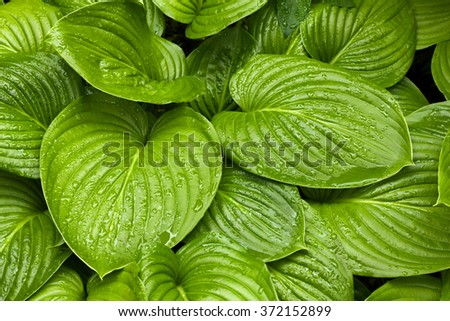 Close-up of fresh green hosta leaves wet after the rain - stock photo