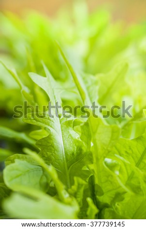 Close up of fresh green lettuce salad organic. Leaf of green salad vegetable for background. Macro shot. Shallow depth of field (dof), selective focus. - stock photo