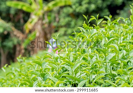 Close up of fresh green tea leaves growth on hill with tea worker at plantation