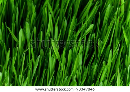Close-up of fresh green wheat grass for backgrounds - stock photo