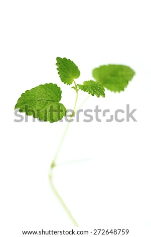 Close-up of fresh mint on white background - stock photo