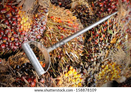 Close up of fresh oil palm fruits and oil palm lifter, selective focus.   - stock photo