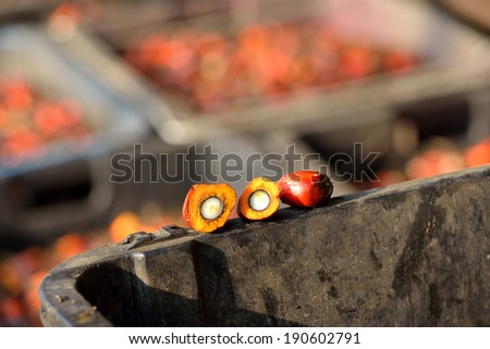 Close up of fresh oil palm fruits. Palm oil, a well-balanced healthy edible oil is now an important energy source for mankind. It comes from the fruit itself (reddish orange). - stock photo