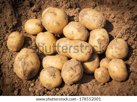 Close up of fresh organic potatoes in the field - stock photo
