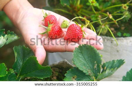 Close up of fresh organic strawberries growing on the field
