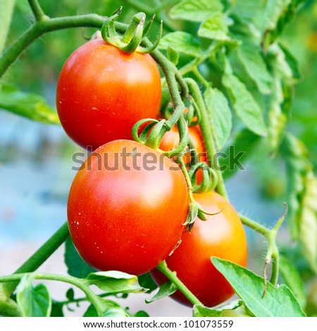 Close up of fresh red tomatoes still on the plant - stock photo